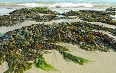 A Brief Biography of Seaweed Extract